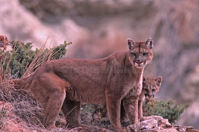 cougars στοκ εικόνες