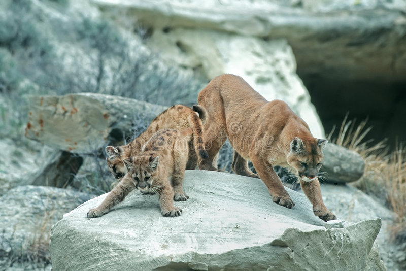 Cougars stock photo