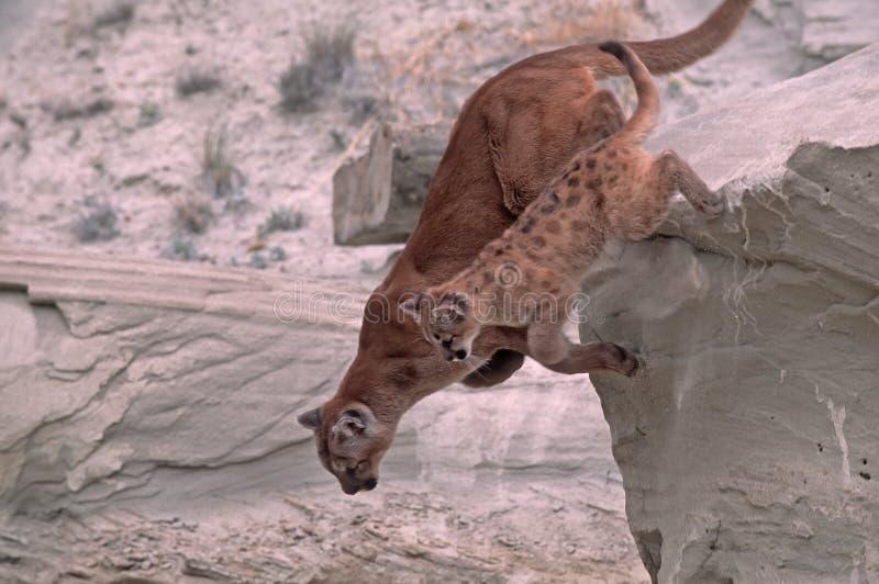 cougars στοκ φωτογραφία