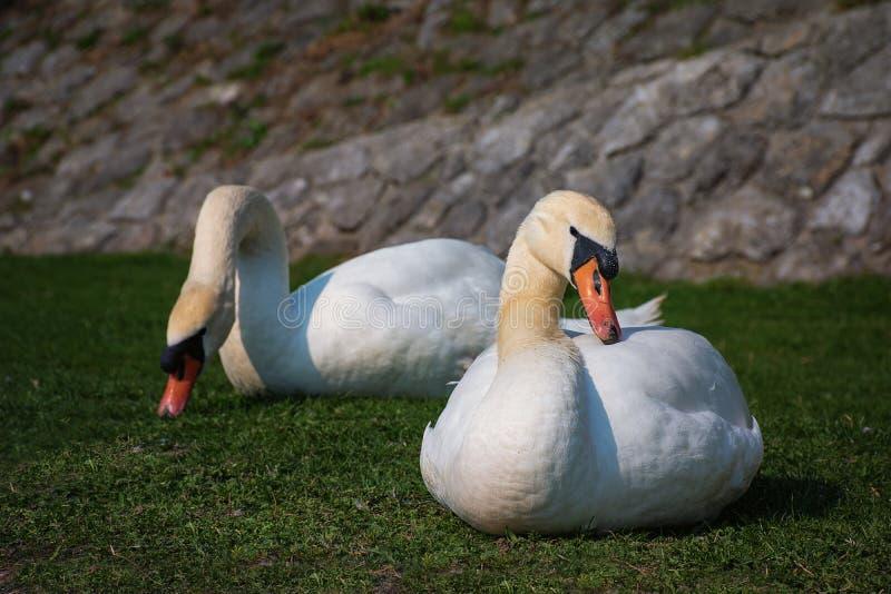 Coule de los cisnes blancos que comen y que se relajan en riverbank imágenes de archivo libres de regalías