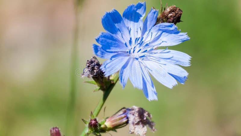 Couleur bleu clair de fleur de fleur de fleur de fleur de fleur de fleur de fleur de fleur de fleur de fleur de chicorée images libres de droits