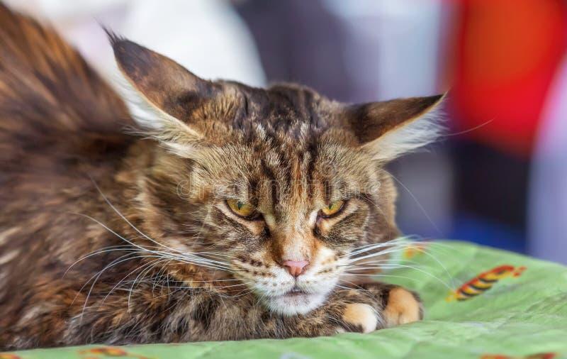 Couleur d'écaille de race de Kitten Maine Coon photo stock