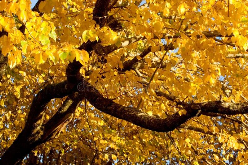 Couleur d'automne, orme noir (également connu sous le nom d'orme de liège) photographie stock libre de droits