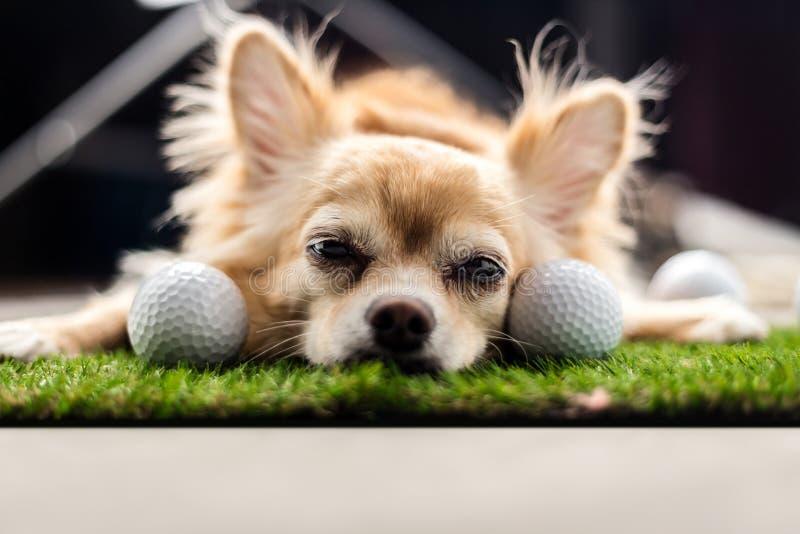 Couleur de brun de chien de chiwawa dormant à côté de la boule de golf sur le GR vert photos stock