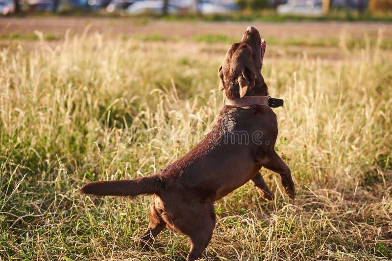 Couleur de brun de Labrador, jeu, rebondissant sur l'herbe image stock