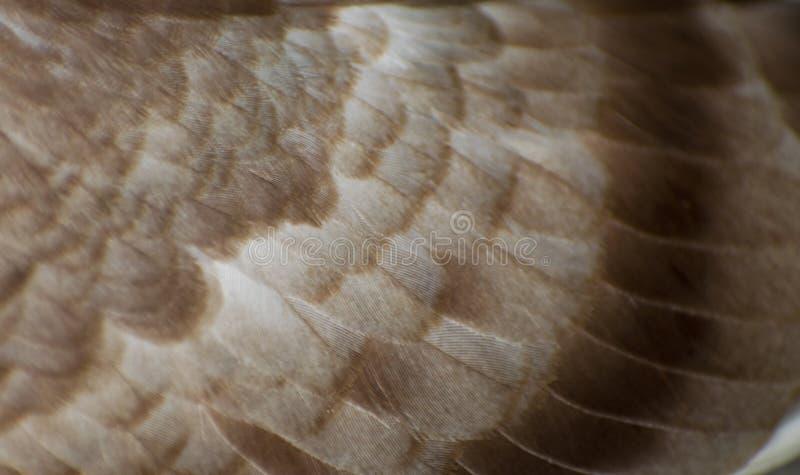 couleur de brun de modèle de plume de pigeon de fond photos libres de droits