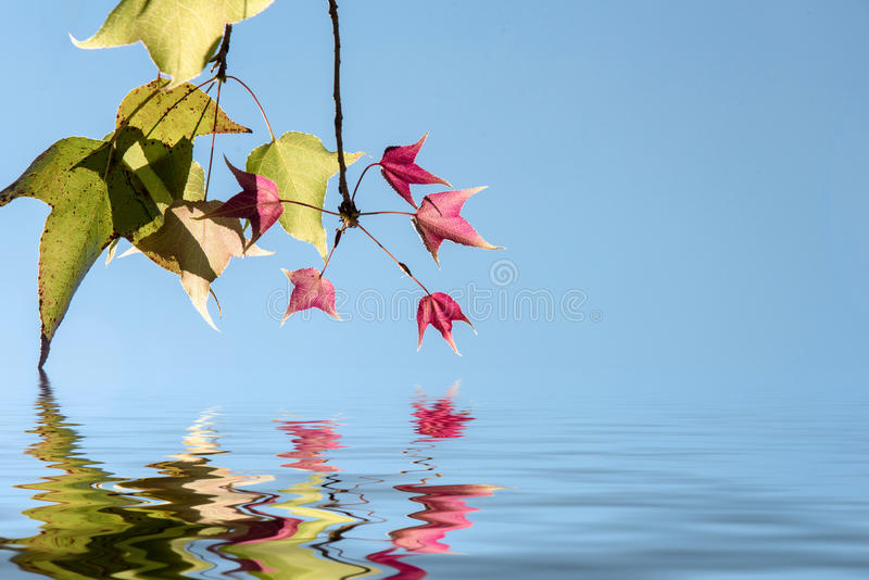 Couleur de changement de Mable de feuilles sur le fond de ciel bleu photo libre de droits