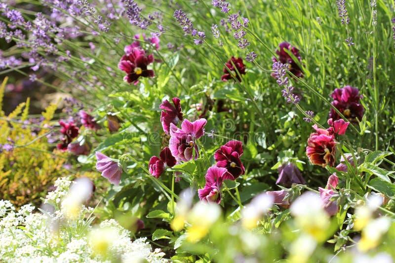 Couleur de différence de fleur de pensée, alto, levander, fleur de ressort Temps coloré se développant de fleurs au printemps photographie stock libre de droits