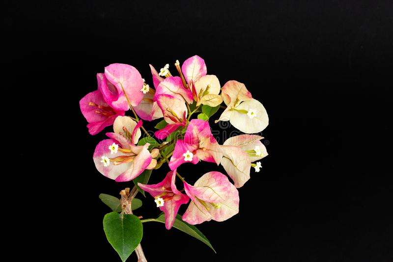 Couleur de rose de caméléon d'inflorescence de bouganvillée sur un fond noir photographie stock libre de droits