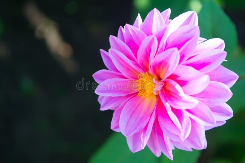 Couleur de rose de Dahila photos libres de droits