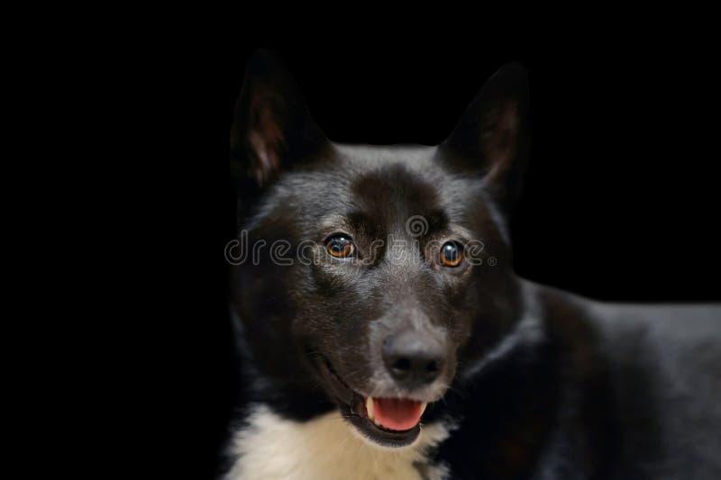 Couleur de taches noire et blanche Russo-européenne de Laika de chien photographie stock libre de droits