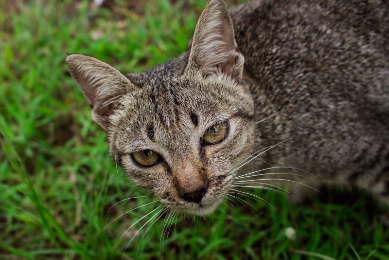 Couleur de tigre de chat, beau, joli, mignon, charmant photos stock