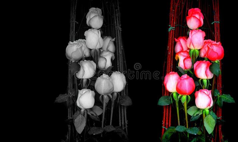 Couleur, fond noir et blanc de roses photographie stock libre de droits
