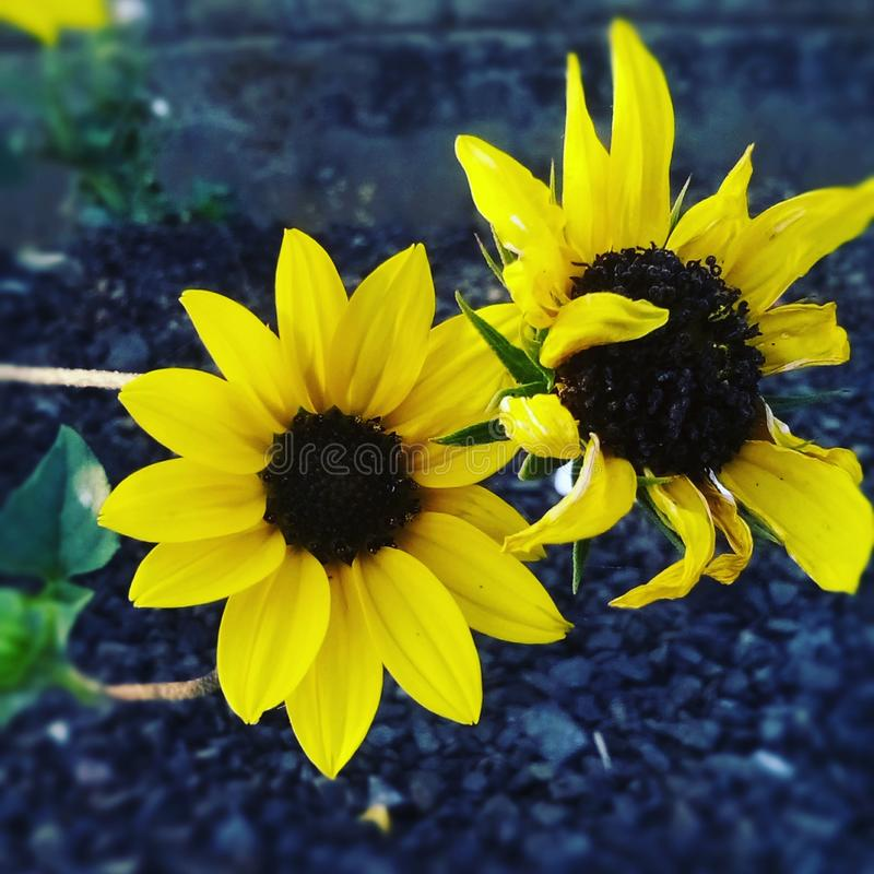 couleur jaune de 2 fleurs photo stock