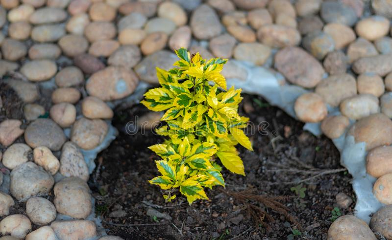 Couleur jaune de petit arbre avec le fond en pierre blanc photos stock