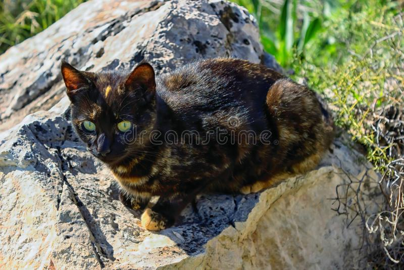 Couleur mignonne de tortue de chaton se reposant sur une pierre Le chat a les yeux jaunes lumineux image stock