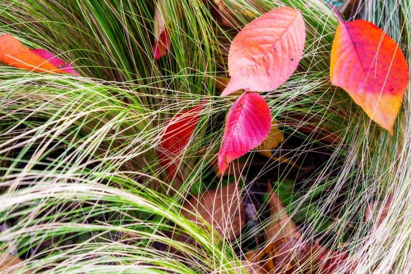 Couleur orange, rouge et jaune de gradient des feuilles d'automne sur le fond d'herbe photos libres de droits