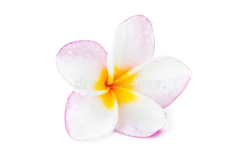 Couleur rose et blanche de Plumeria de plan rapproché sur le fond blanc images stock
