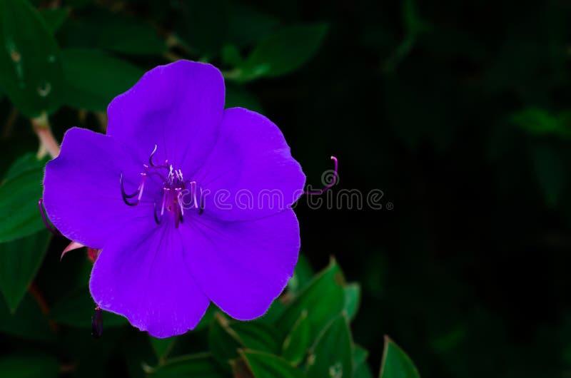 Couleur violette de buisson de gloire ou de fleur de princesse photo stock