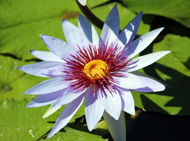 Couleurs beautful pourpres de Flor de loto de loto de fleur de lis photographie stock libre de droits