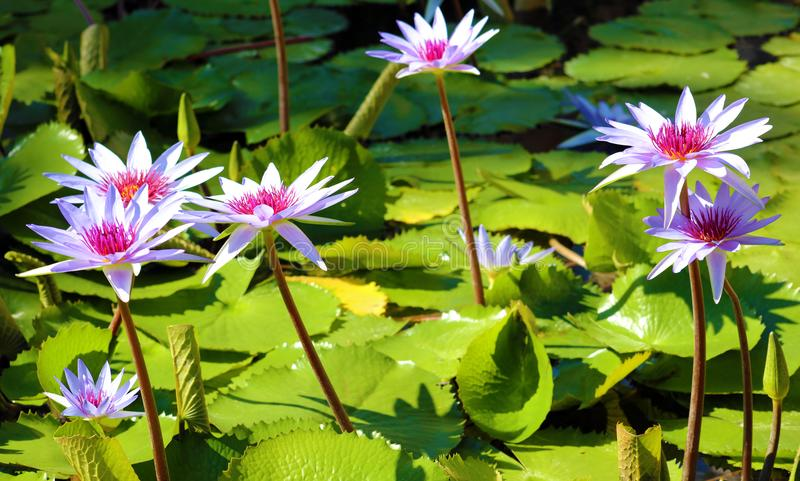 Couleurs beautful pourpres de Flor de loto de loto de fleur de lis image libre de droits