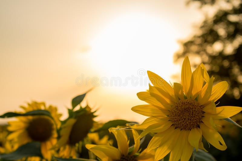Couleurs chaudes et chaudes et nuances de beaux paysages de la Russie dans la région de Rostov Champs locaux des tournesols jaune photos libres de droits