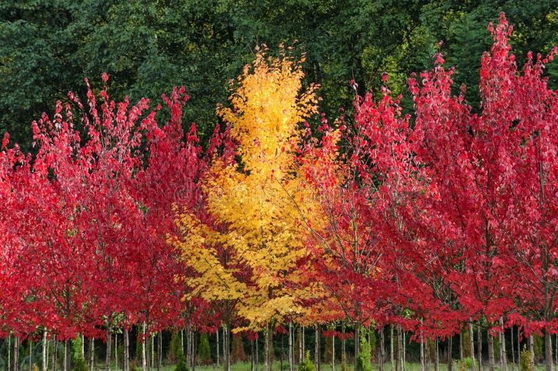 Couleurs d'automne dans une rangée des arbres photo libre de droits