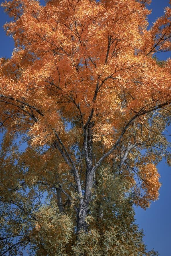Couleurs d'automne des feuilles sur un arbre images libres de droits
