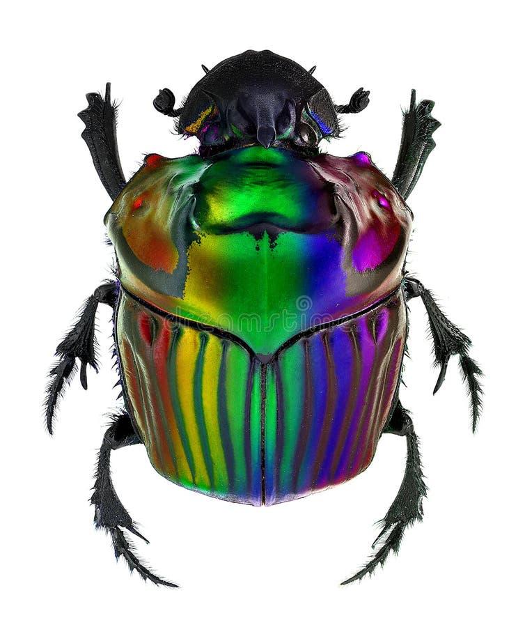 Couleurs d'imagination sur le scarabée de fumier de conspicillatum d'Oxysternon photo libre de droits