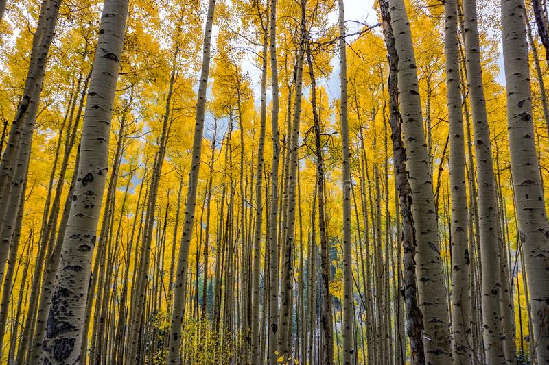 Couleurs de chute dans Aspen, le Colorado photo libre de droits