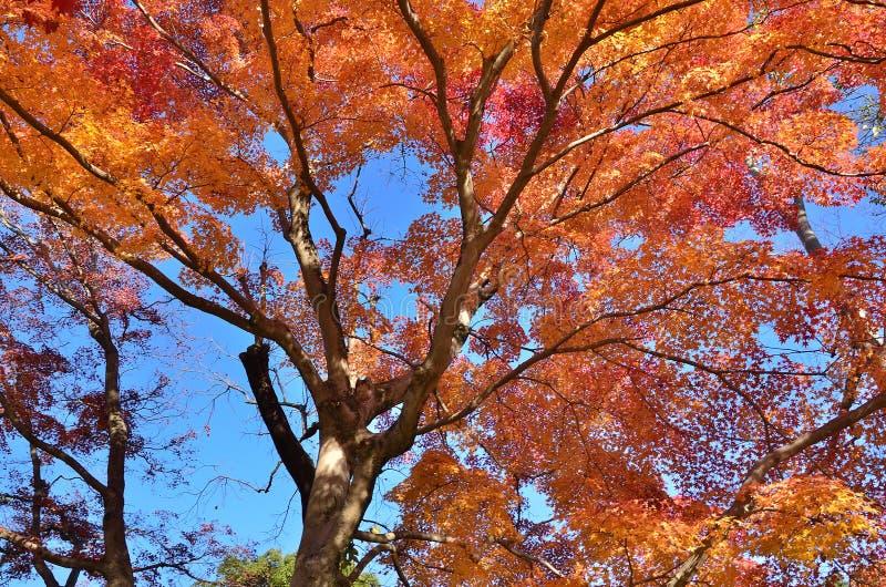 Couleurs des feuilles d'automne, Japon image stock