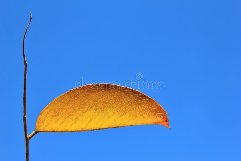 Couleurs simplistes en nature - la feuille d'or simple merveilleuse photos stock