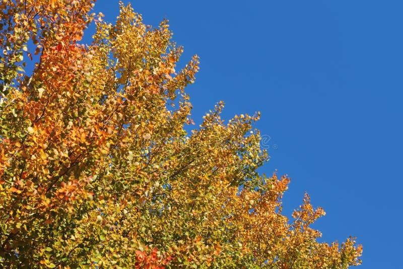 Couleurs vibrantes sur les dessus d'arbre d'automne, ciel bleu-foncé à l'arrière-plan images libres de droits