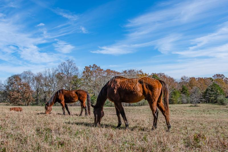 Counrysidemening van 3 paarden het weiden stock foto
