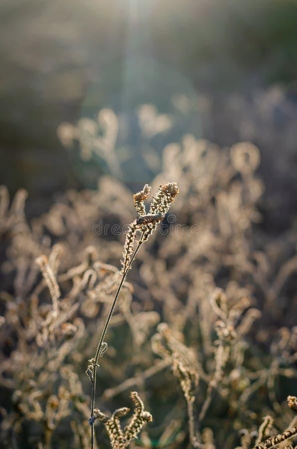 Dried beige Heliotropium indicum flowers in the autumn sunshine. royalty free stock photos