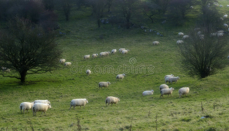 Counting sheep 2 royalty free stock photos