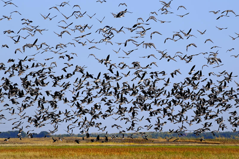 Download Countless birds stock image. Image of flying, bird, many - 19182329