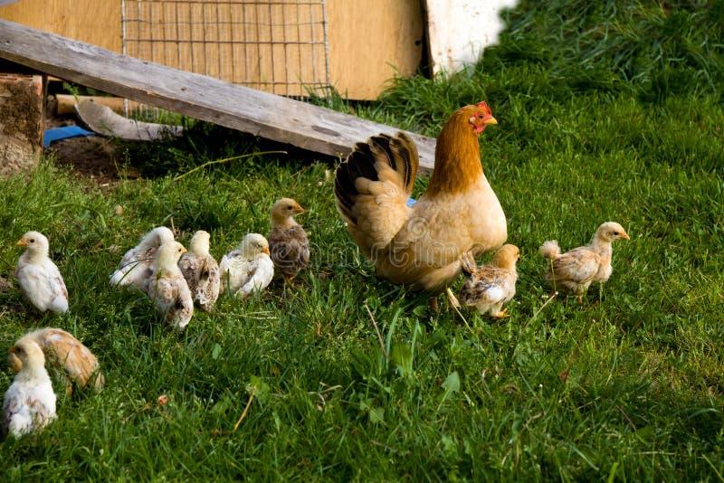 Countrastijl op het landbouwbedrijf, Gelukkige Kip op het Landbouwbedrijf stock foto's