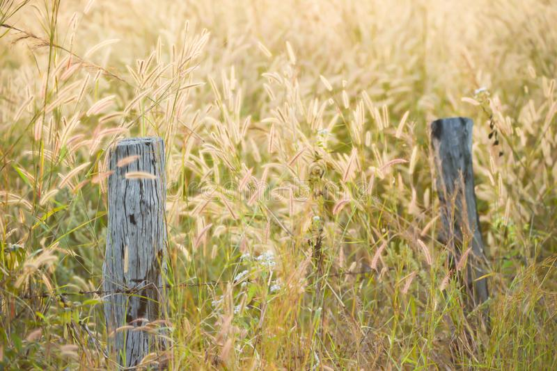 Country barbed wire fence with old logs in Mission Grass fields at dusk. Soft and transparent of mission grass flowers are in bloom, rural scene in summertime royalty free stock photos