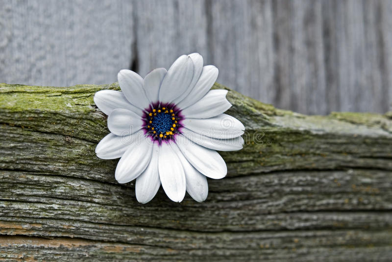 Country Contrast. Pretty daisy stuck in barn wood royalty free stock images