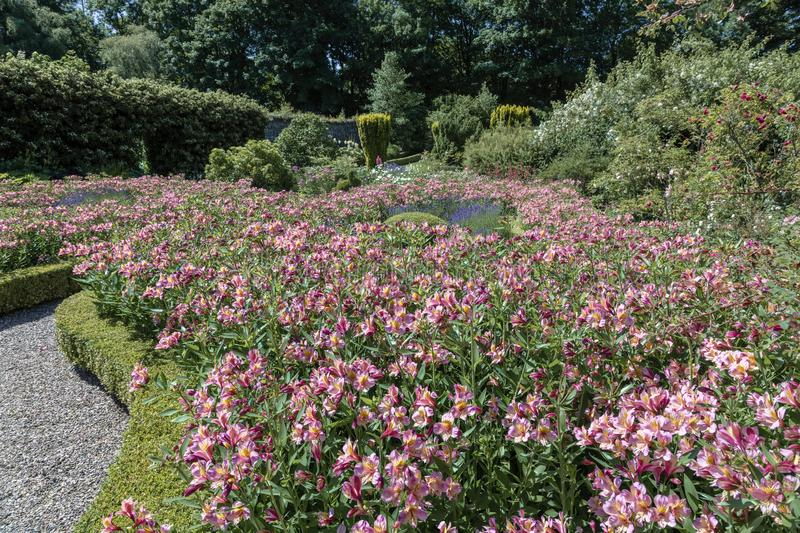 A country garden. Bathed in bright sunshine with a display of Alstroemeria royalty free stock image