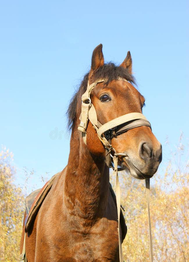 Download Country horse portrait stock photo. Image of herdsman - 11312990