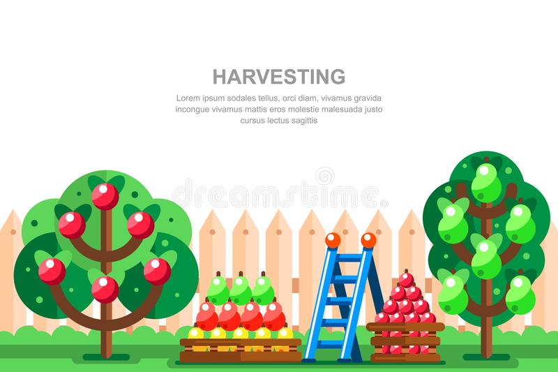 Country house gardening and harvesting vector illustration. Apple and pear trees, fruits in boxes near wooden fence. Summer landscape stock illustration