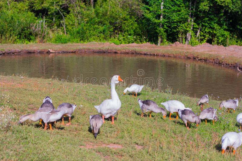 Country house geese graze near a pond led by a goose royalty free stock image