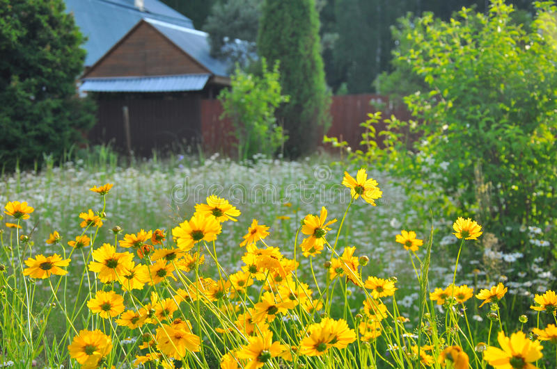 Country house, view of the yard where beautiful yellow flowers grows. Country house, view of the yard where the guty high grass and beautiful yellow flowers royalty free stock photo