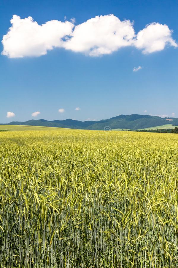 Country landscape with barley field. royalty free stock image