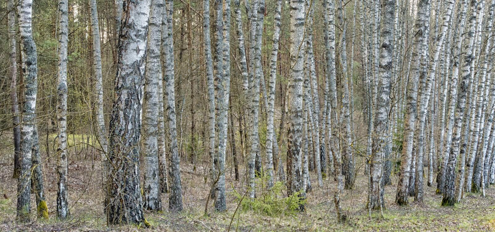 Birch tree forest with black and white trunks. Day springtime grass leaves bushes branches royalty free stock photo