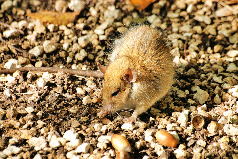 Download Country mouse stock photo. Image of animal, pest, acorns - 28150326
