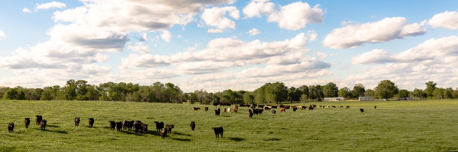 Country panorama of cattle in lush pasture. Country panorama of cattle in a lush green pasture with fluffy clouds and blue sky stock photography
