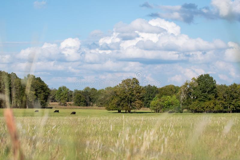 Country pasture landscape. Country background of beef cattle grazing in the distance shot through out of focus grass with a beautiful cloudscape royalty free stock images